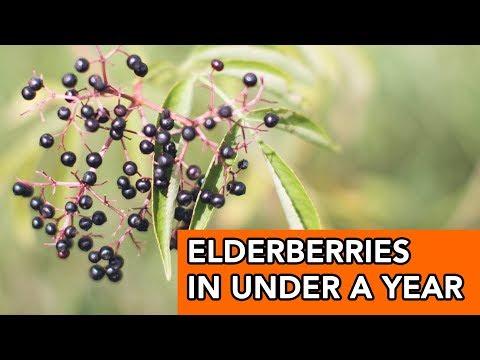 Elderberry Plants are Producing