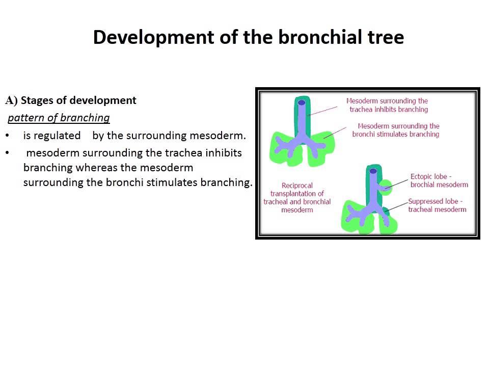 Embryological Basis Of Congenital Respiratory Anomalies Youtube