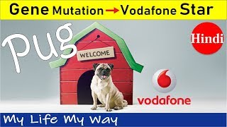 Pug Dog | Genetic Mutation to Vodafone Super Star