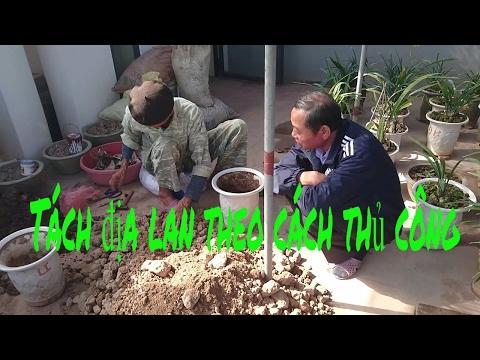 How to grow orchids, Cymbidium, Cymbidium separation technique by manual methods