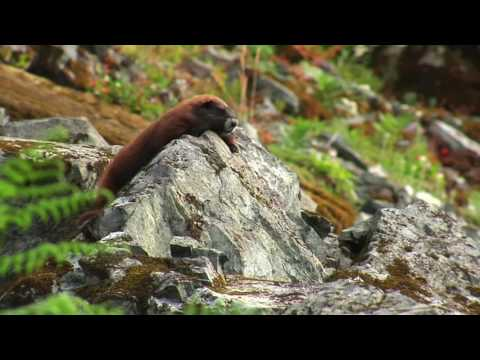 Top 10 Iconic Canadian Animals - Vancouver Island Marmot
