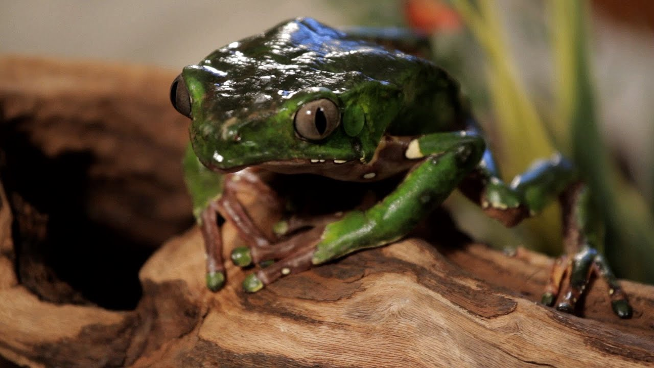7 Cool Facts about Waxy Monkey Frogs | Pet Reptiles - YouTube