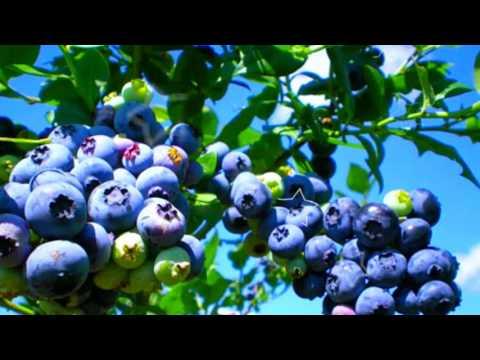 ГОЛУБИКА - ПОЛЬЗА И ВРЕД | голубика полезные свойства и противопоказания