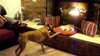 「ねえねえ、そろそろ交代してよ!」暖炉の前の特等席を独占している猫に訴えかけるボクサー犬