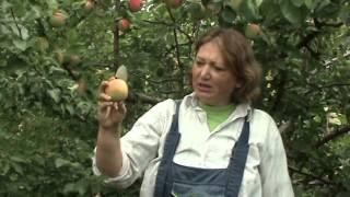видео Яблоня Мельба