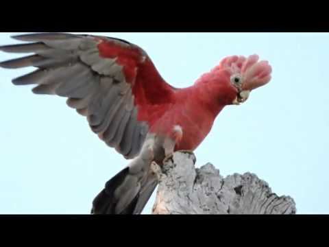 Pink and Grey Galah (Cocky) - The Great...