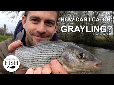 How Can I Catch Grayling?  The School Of Fish