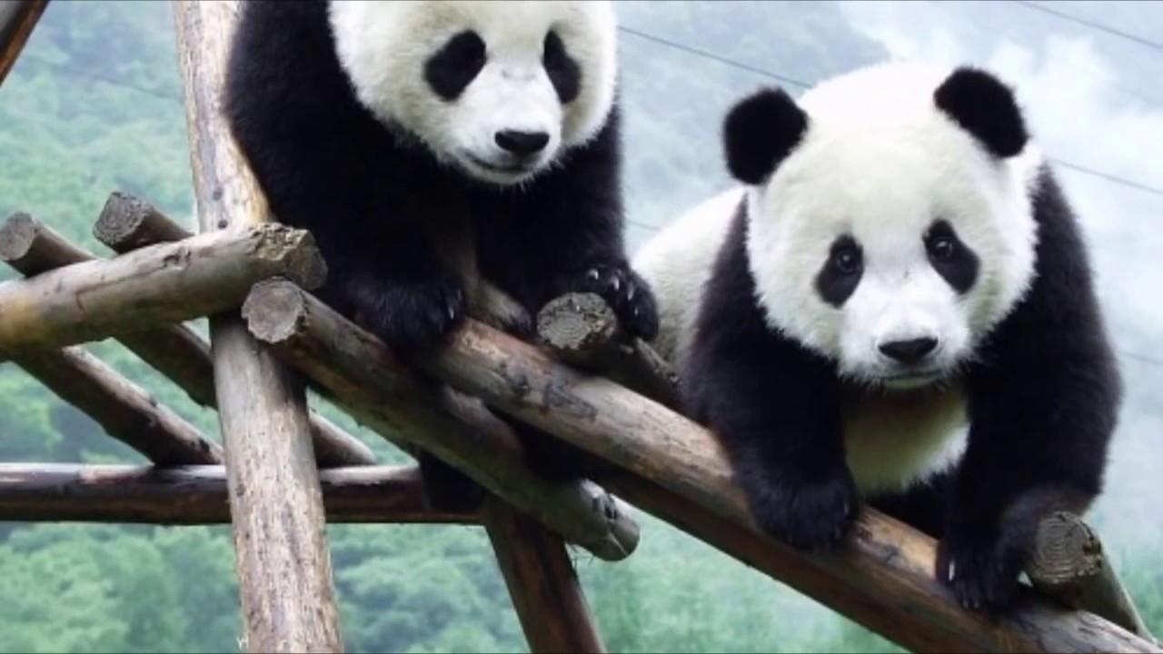 معلومات عن دب الباندا Youtube