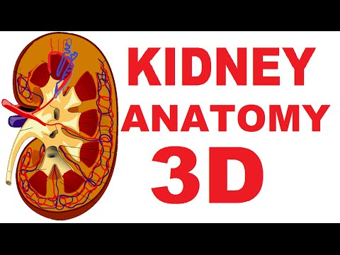 Kidney Anatomy: DETAILED Renal, Nephron, Urinary System - YouTube