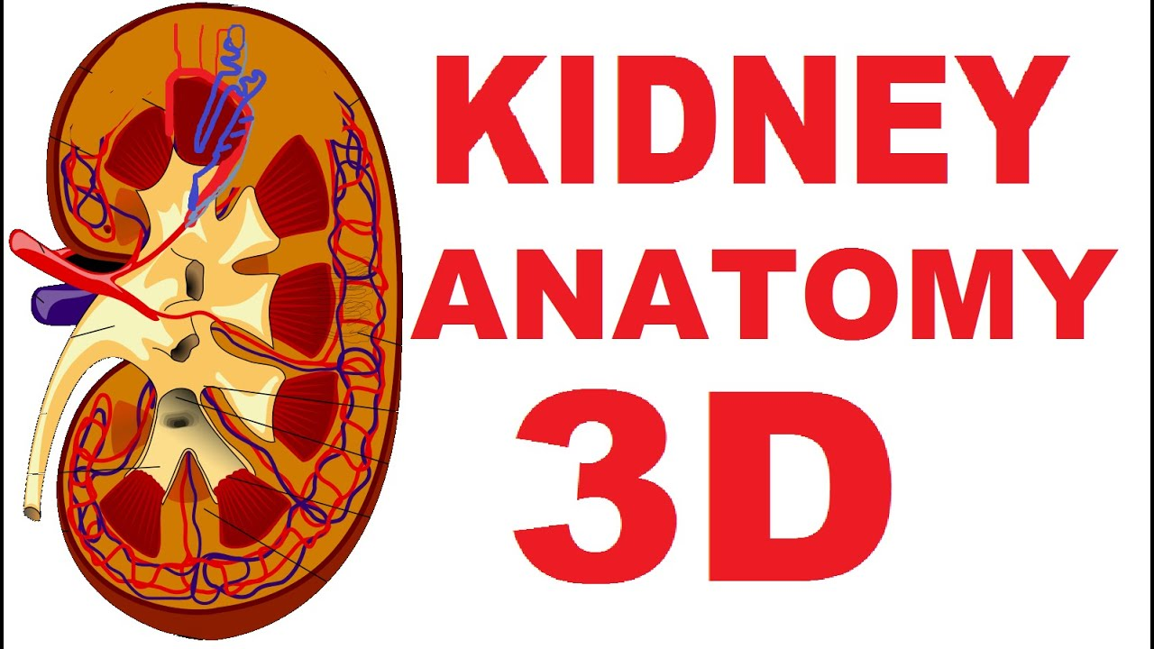 Kidney Anatomy Detailed Renal Nephron Urinary System Youtube