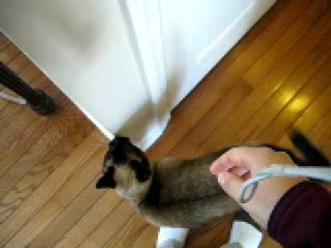 Siamese cat demands petting 2