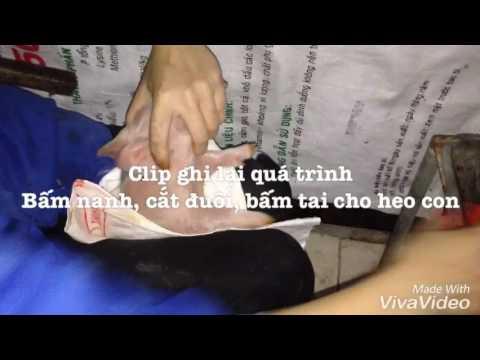 Quá trình cắt đuôi - bấm nanh - bấm số tai heo con