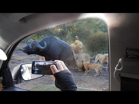 Lions Hunt Buffalo Next to Vehicle