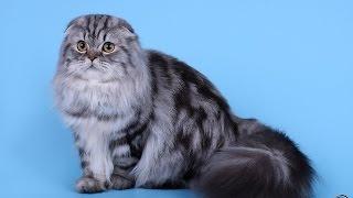 Мариуполь питомник шотландских кошек