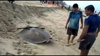 Kokari, Waghali FISHING (Rapan) at Konkan, Maharashtra