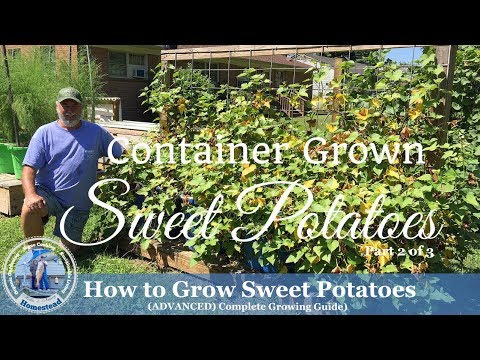 How to Grow Sweet Potatoes (ADVANCED) Complete Growing Guide