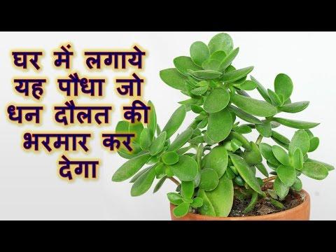 Overcome financial crisis by planting this plant, घर में लगाये यह पौधा जो धन दौलत की भरमार कर देगा