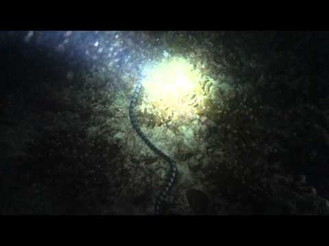 Footage of Banded Sea Snake, Lighthouse, Malapascua, Philippines - 4 March 2013