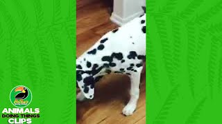 Dalmatian Barks at a Watermelon | Animals Doing Things Clips