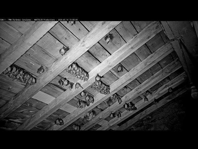 GrandRhinolophe de la Maison du Parc naturel régionale des Pyrénées catalanes,