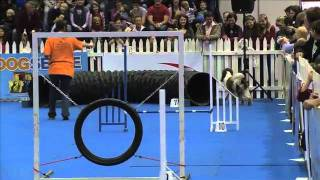 Sport News, Agility: Springer Spaniel Emily In Dog Agility Contest, South Africa