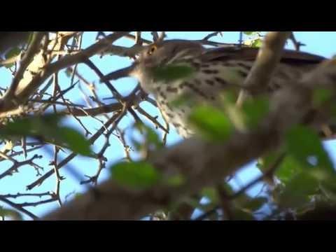 Canto Bello Del Pájaro Cuitlacoche Pico Largo