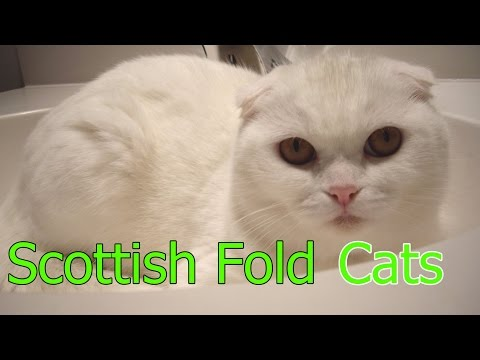 Scottish Fold Cats ★ AnyFuns Channel