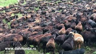 Настоящие гиссарские овцы, ягнята и ярочки