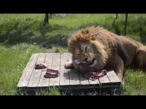 """Уникальное кормление львов в """"Тайган """" парке."""