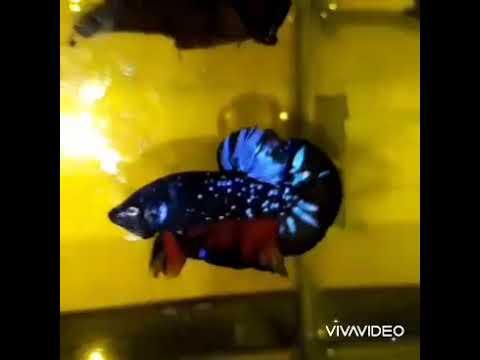 Ikan Cupang Avatar kembang rintik ajibbss - YouTube
