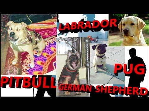 Pitbull , German Shepherd , Pug , Labrador  dog training in hindi