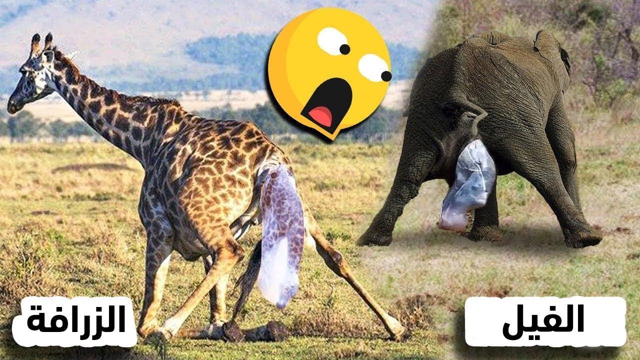 مقاطع مدهشة تم تصويرها للحيوانات أثناء الولادة !!