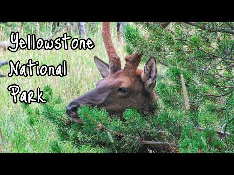 Wildlife in Yellowstone 🦌
