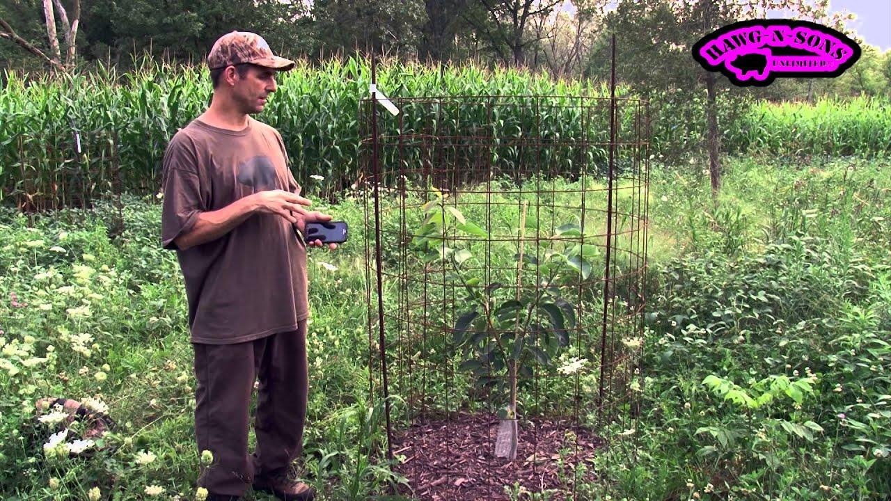 Morse Nursery Meader Persimmon Vs Stark Bro S Nurseries Prok Yates Fruit Trees