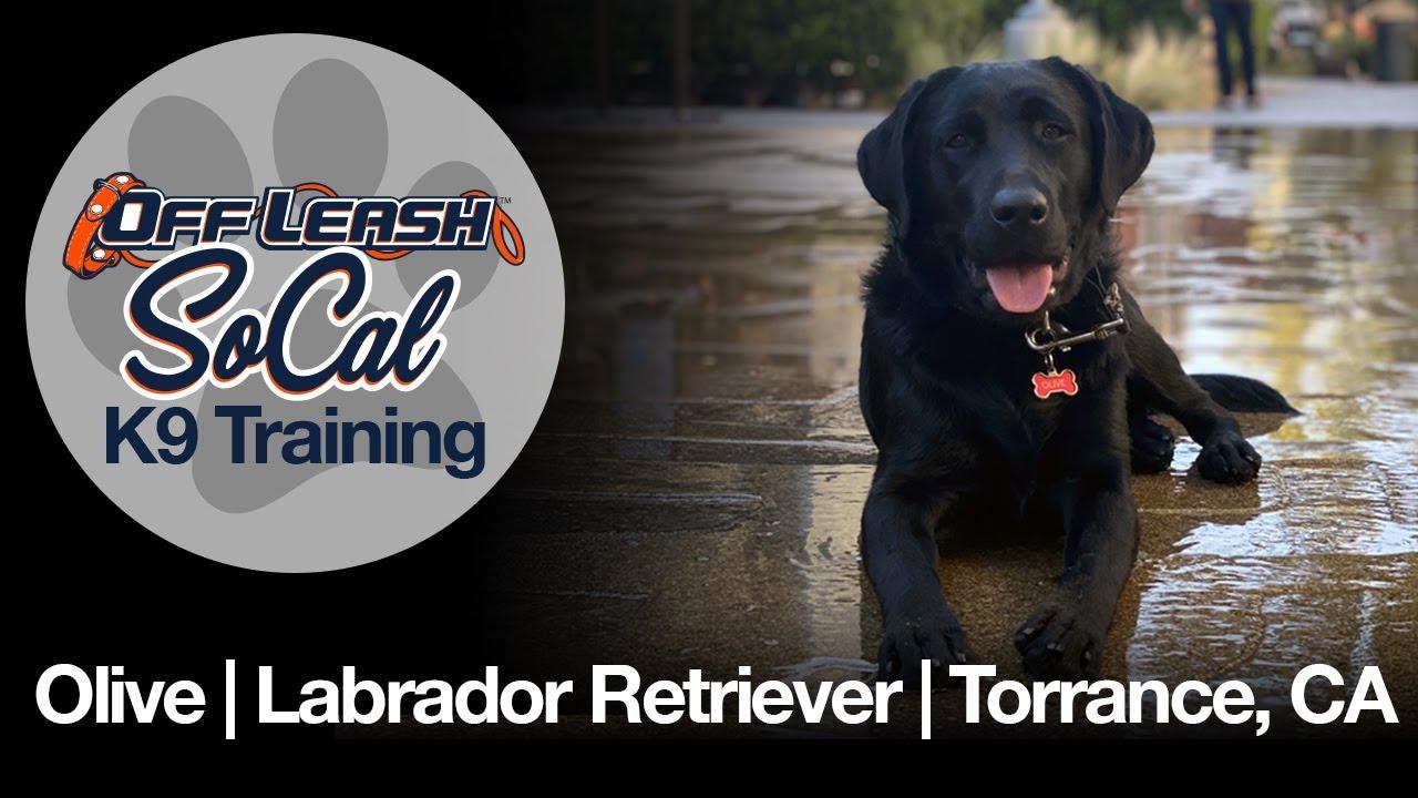 Olive | Labrador Retriever | Torrance