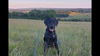 Jet the 8 month old Labrador - 4 Weeks Residential Dog Training