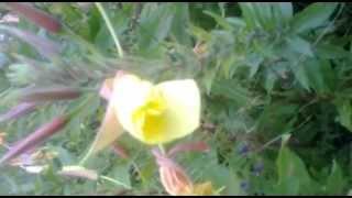 ЛУННИК.Чудо цветок.