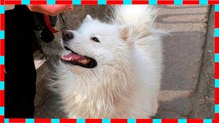 Лайка Самоед, Встречаем Новую Собаку