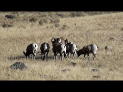 Bighorn Sheep Rut in Yellowstone