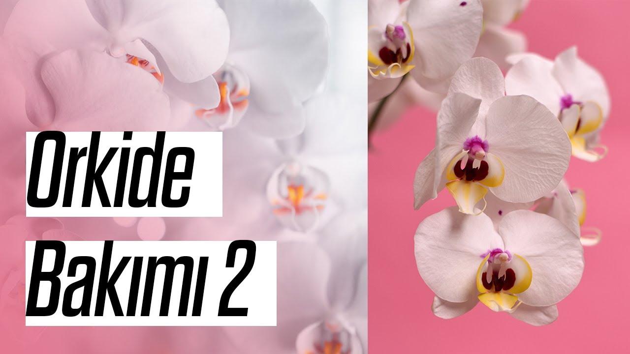 Evde Orkide Bakımını Nasıl Yapmalıyım