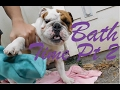 English Bulldog Getting a Bath pt 2
