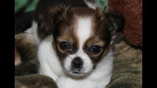 Shichi~chihuahua/shih Tzu Mix Breed~cutest Puppy Ever !