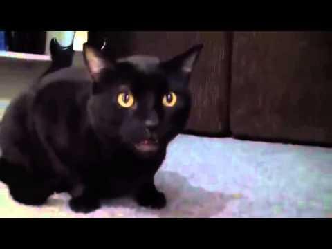 Скачать кот поет видео