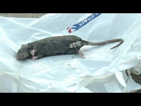 París, ¿a merced de las ratas?