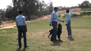 Rottweiler Dog Training Courses In Egypt