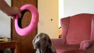 Cool Dog Trick Weimaraner Sets New World Record -