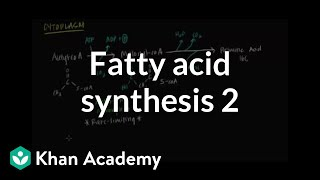 Fatty Acid Synthesis - Part II