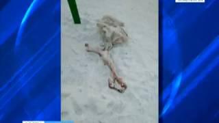 На детской площадке в Солнечном найден мешок с костями и сырым мясом