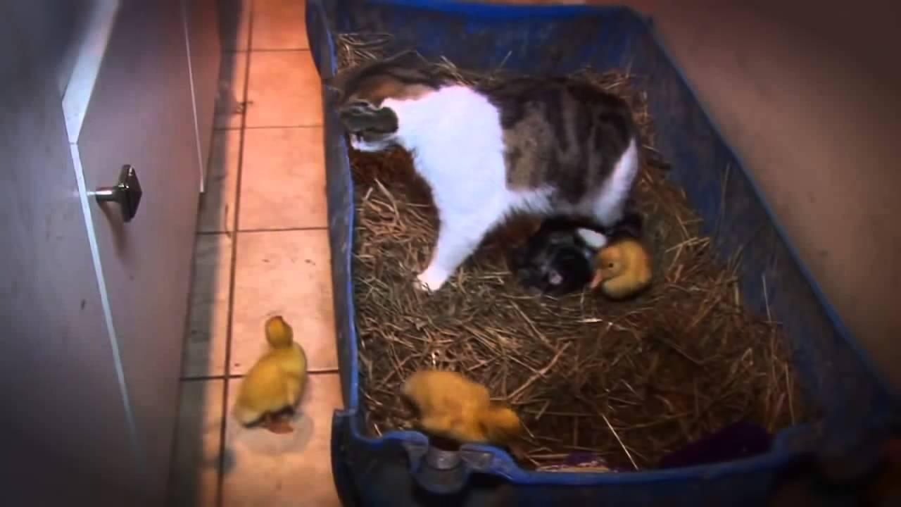 гифка кошка в цыплятах ему