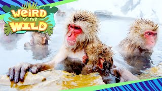 Meet the Monkeys Who Bathe in a Volcanic Hot Tub | WEIRD IN THE WILD